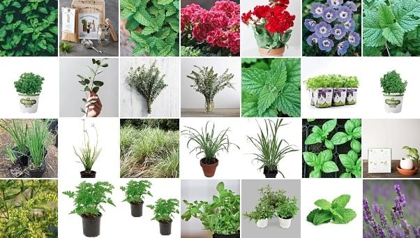 Hello Plants, Goodbye Mosquitoes! - These Plants REPEL