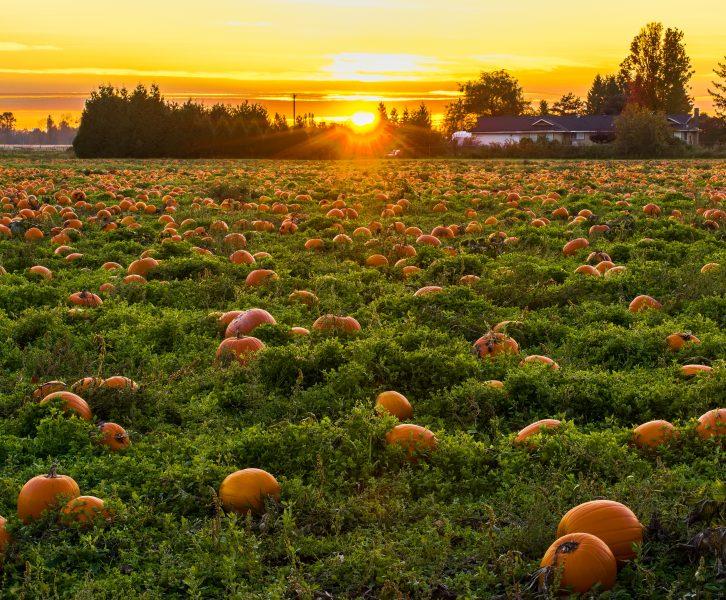 pumpkin patch during sunset